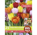 Blumenzwiebel Big Pack Tulpe 'New Creation' bunt, 25 Stk